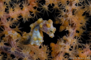 Pygmy Seahorse by Henrik Gram Rasmussen 